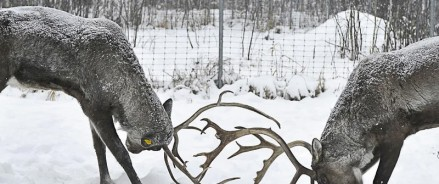 В Керженском заповеднике займутся восстановлением популяции северных оленей