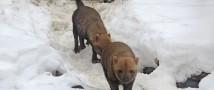 Московский зоопарк — пополнение в семействе кустарниковых собак