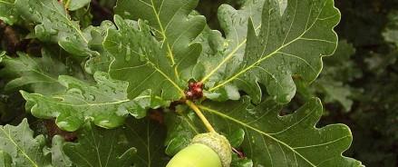 В Казани вырастят дуб из желудя c дерева, высаженного Петром I