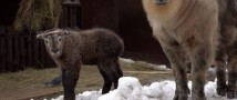 В Московском зоопарке родился детеныш редкого такина