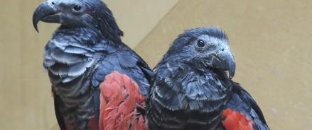 В зоопарке новые обитатели — орлиные попугаи