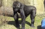 Московский зоопарк — гориллы вышли в уличный вольер