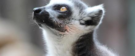 Московский зоопарк — у нас снова можно увидеть лемуров