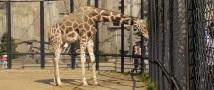 Московский зоопарк — жираф вышел в уличный вольер