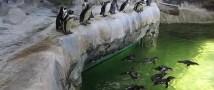 В Московском зоопарке пингвины переехали в летние вольеры