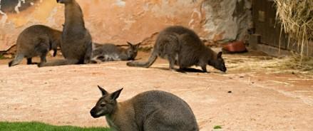 В Московском зоопарке поселилась семья кенгуру валлаби