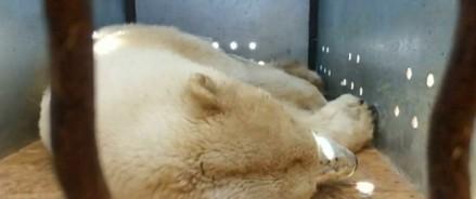 Как спасли якутскую медведицу