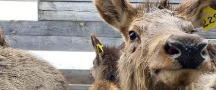 Красноярских маралов выпустили в естественную среду обитания