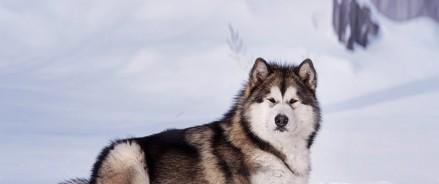 Маламут Снежок врывается в TikTok: видео обаятельного пса набирают миллионы просмотров