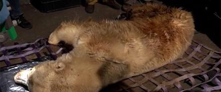 Медведь из Якутии прибыл на реабилитацию в Московский зоопарк