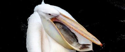 Пеликаны переселились в уличный вольер
