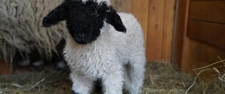 В зоопарке родились овечки