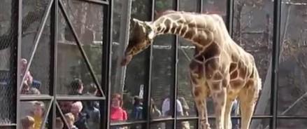 Жираф Самсон вышел в уличный вольер