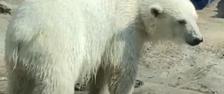 Московский зоопарк — как справлялись с жарой белый медведи