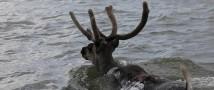 На Таймыре посчитают дикого северного оленя