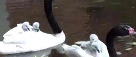В Московском зоопарке появилось 5 птенцов черношейного лебедя