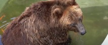 Московский зоопарк — как охлаждаются медведи