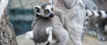 Московский зоопарк — у нас родился детеныш кошачьего лемура