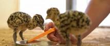 В Московском зоопарке появились четыре дрофенка