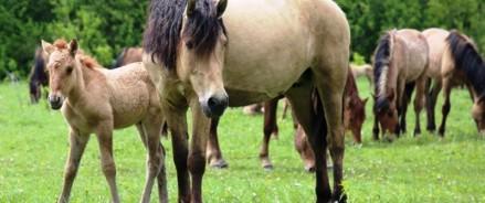 Фермер Татарстана возродил уникальную породу лошадей — «Татарскую»