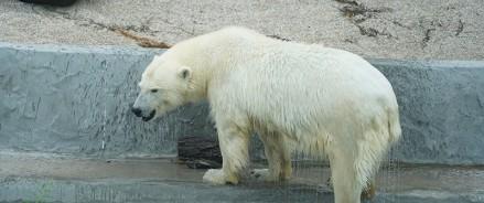 Московский зоопарк — выбираем имя для белой медведицы