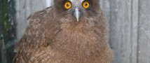 Птенцы вымирающего рыбного филина прибыли в Московский зоопарк
