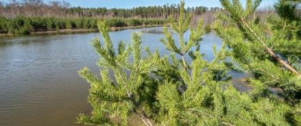 В Татарстане вдоль трасы М12 посадят 1000 сосен