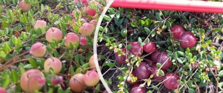 В Архангельской области увеличивают ягодные плантации
