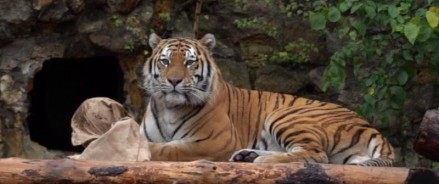 В Московский зоопарк приехал тигр