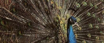 На ферме жительницы Татарстана более 250 декоративных птиц: фазаны, павлины, цесарки