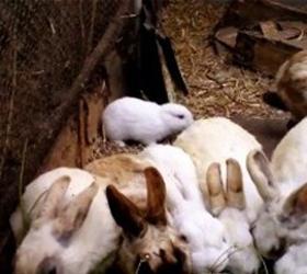 кролик мутант в японии после аэс фокусима