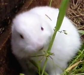 Кролик мутант уже в Японии