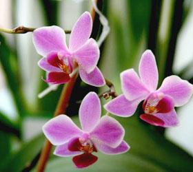Любимые цветы Ниро Вульфа, или все об орхидеях