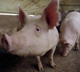 Голландский фермер Эрик Стехинк установил на территории своего хозяйства пластиковую горку, которую приобрел в...