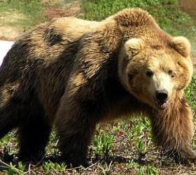На Камчатке сотрудники полиции застрелили медведя, растерзавшего человека