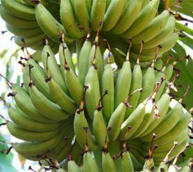 Ученые смогли прочитать геном дикого азиатского банана