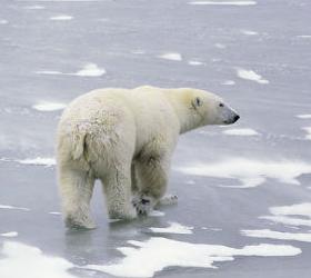 На Чукотке на станцию метеорологов напал белый медведь