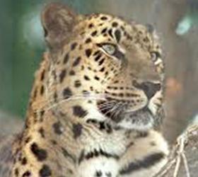 Леопард напал на мальчика