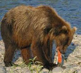 На Камчатке был застрелен медведь