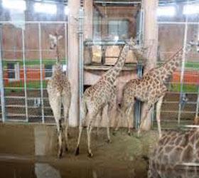 В красноярске погибли два жирафа