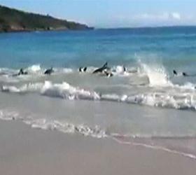 На берег Австралии выбросились десятки дельфинов