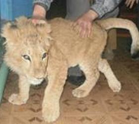 Школьниками найден в ростовском лесу брошенный львенок
