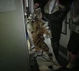На Дальнем Востоке у проводника поезда изъяли шкуру амурского тигра
