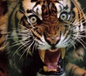 В Мексике на глазах у зрителей тигр растерзал дрессировщика