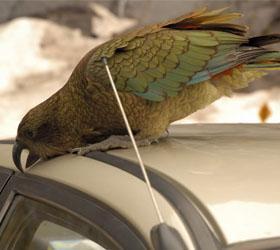 В Новой Зеландии попугай украл у туриста примерно тысячу долларов