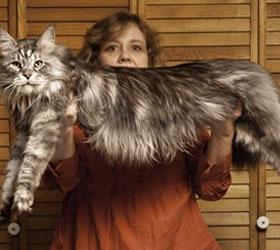 В Америке погиб самый длинный в мире кот