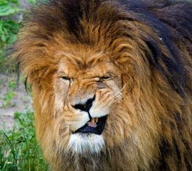 В Зимбабве лев напал на занимающуюся любовью пару