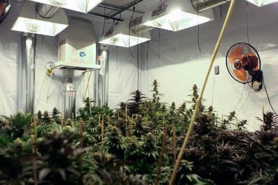 Петродворец спасли от лаборатории по выращиванию марихуаны