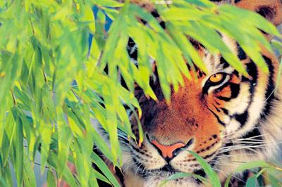 Пятеро мужчин, спасаясь от тигров, 4-ый день сидят на дереве