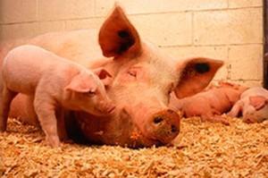 Белорусским свиньям запретили въезд в Россию